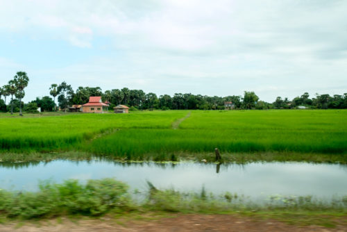 Lush green Paddy fields on the way to Kulen