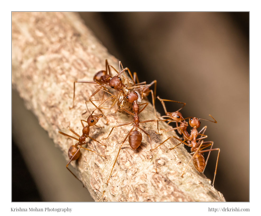 Weaver Ants with Prey