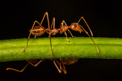 Portrait of a Weaver ant