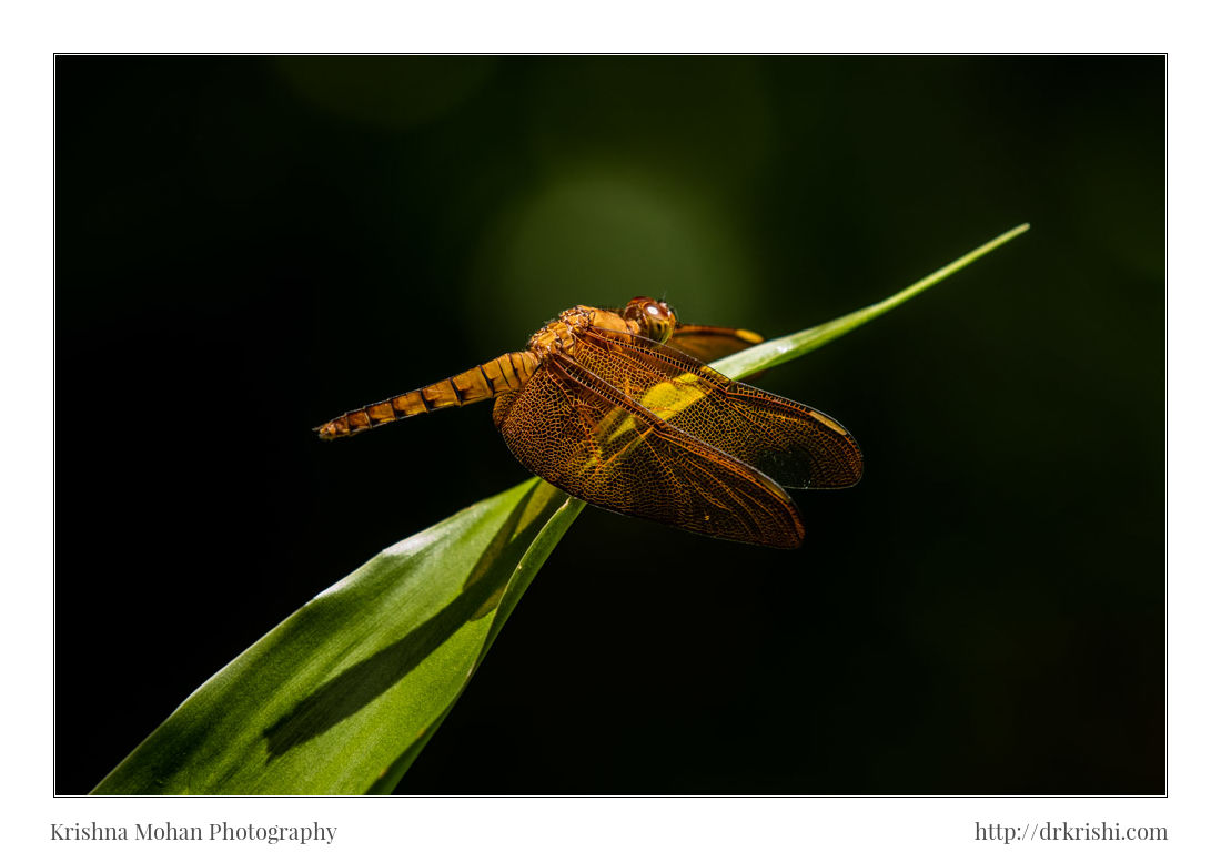 Female Fulvous Forest Skimmer