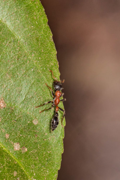 Bi-coloured Arboreal Ant