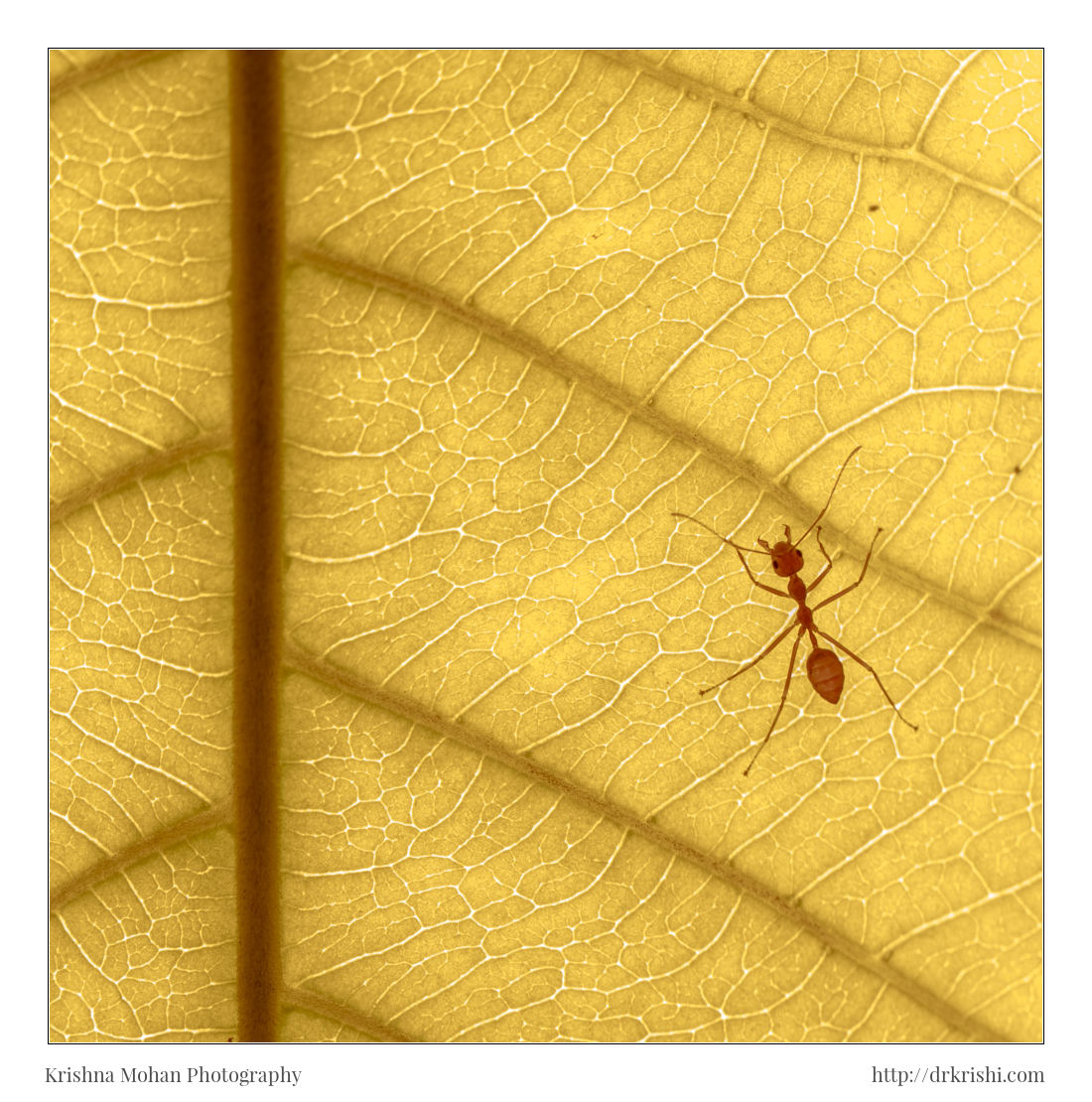 Weaver ants on Indian almond leaf