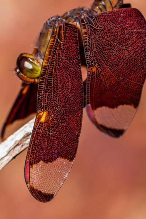 Male Fulvous Forest Skimmer Dragonfly