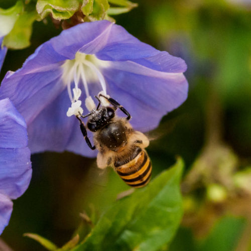 Skyblue Clustervine with honey bee