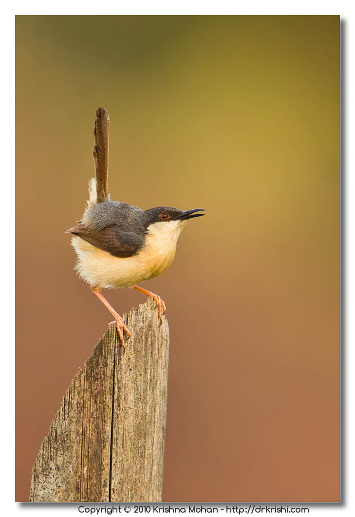 Prinia On the Fence