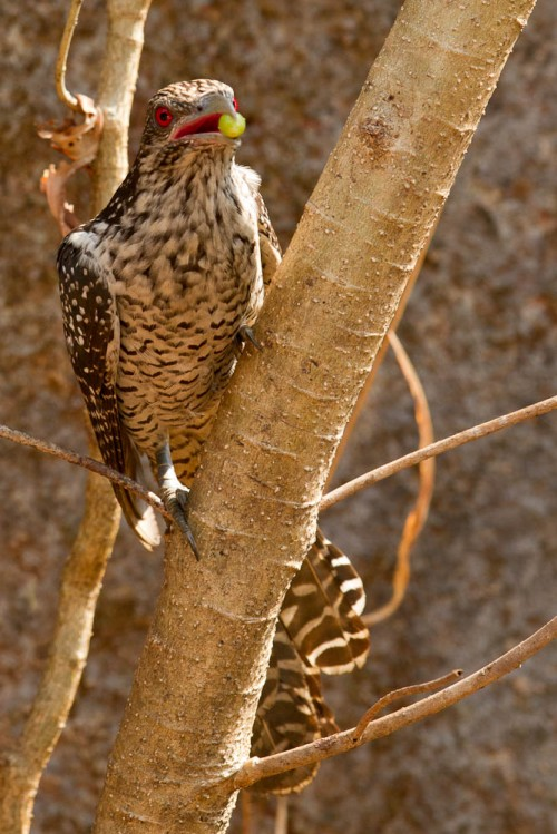 Asian Koel Female with Thevetia peruviana seed in the mouth