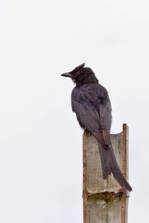 Black Drongo Dorsal View