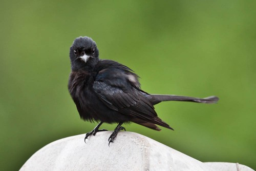 Black Drongo on a Street Light fixture