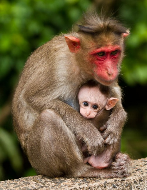 Bonnet Macaque Mother With Baby