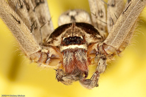 Male Giant Crab Spider Close up