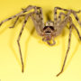 Male Giant Crab Spider