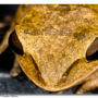 Common Indian Tree Frog Frontal View