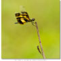 Female Common Picture Wing Dragonfly