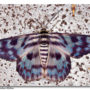 Blue Tiger Moth - Dysphania palmyra