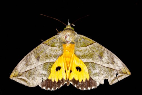 Eudocima hypermnestra Showing the Bright Undere-wing