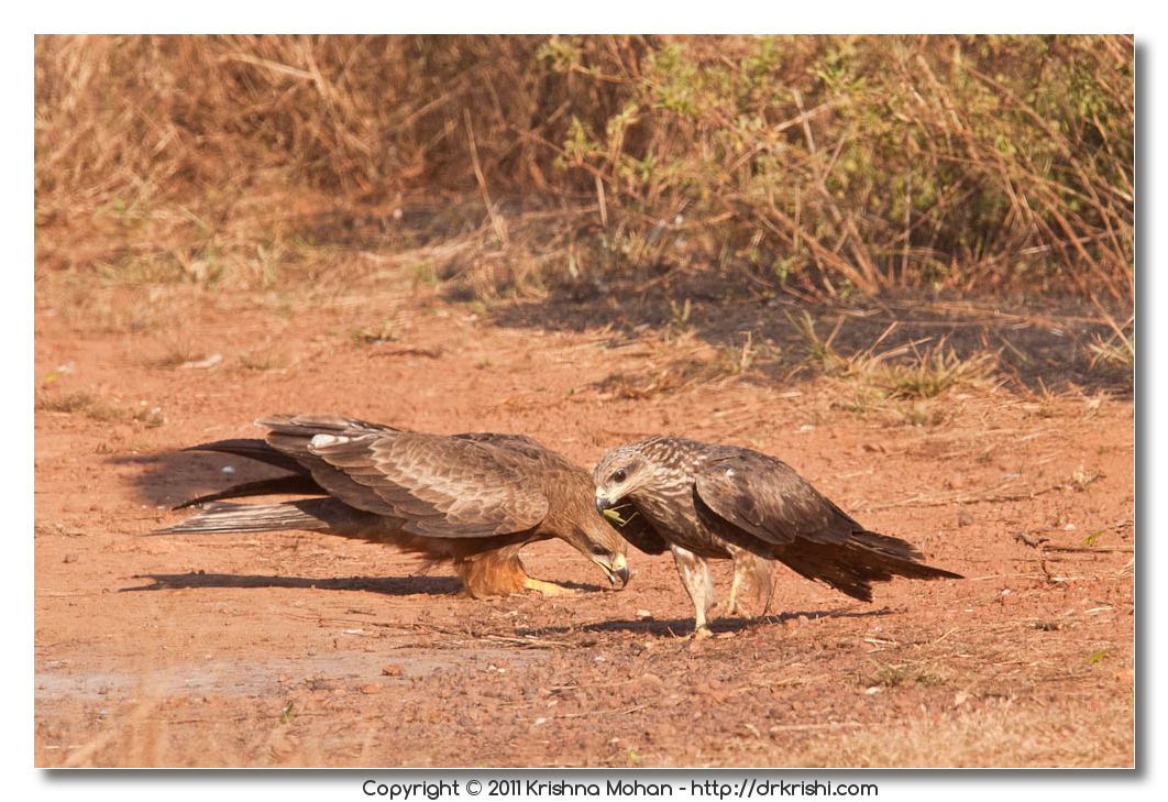 Small Indian Kites with Grasshopper