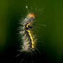 Euproctis caterpillar Hanging