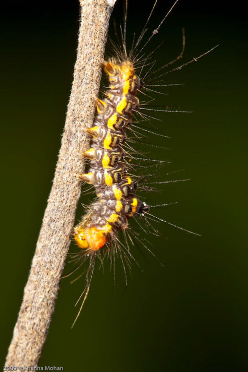 Euproctis species caterpillar