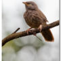 Juvenile Yellow-billed Babbler