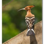 Kokkrebellur - Hoopoe on the wall