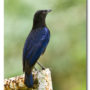 Malabar Whistling Thrush On a old gate