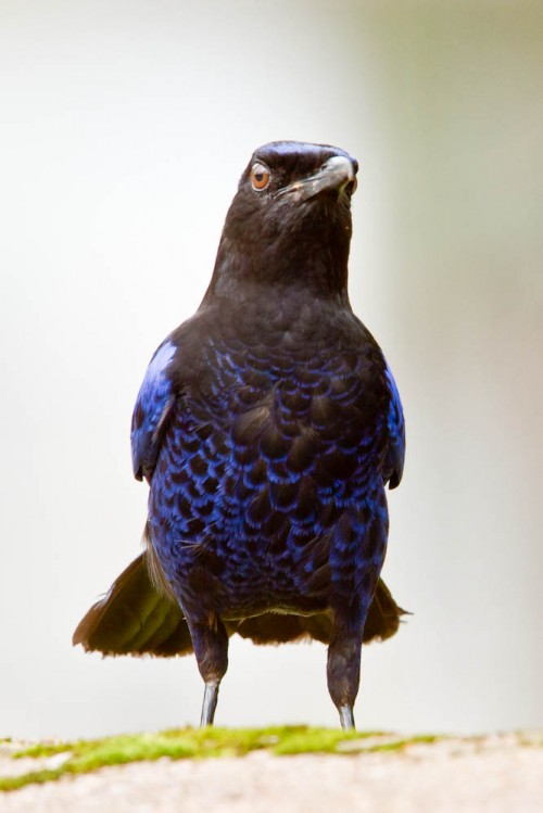 Frontal View of Malabar Whistling Thrush
