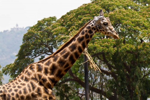 Giraffe at Mysore Zoo
