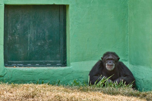 Chimpanzee at Mysore Zoo