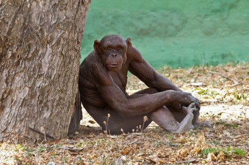 Hairless Chimpanzee at Mysore Zoo