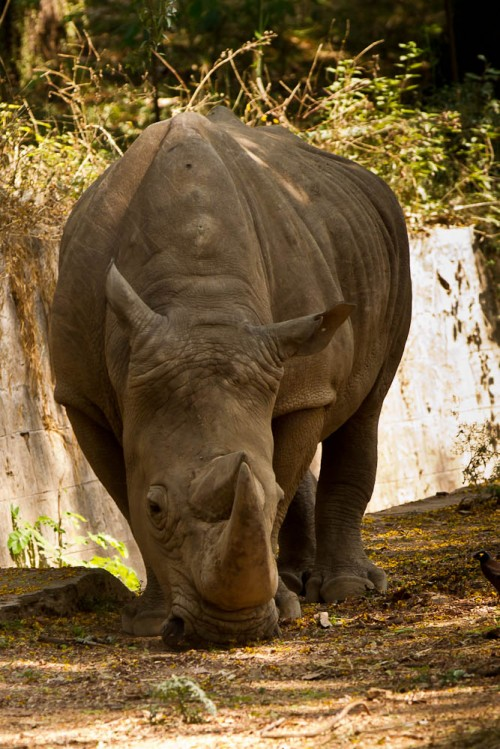 White Rhinoceros at Mysore Zoo