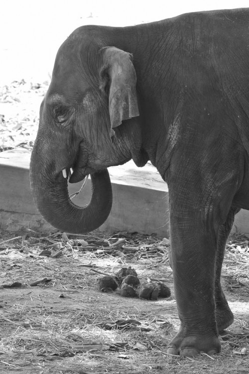 Indian Elephant at Mysore Zoo in B&W
