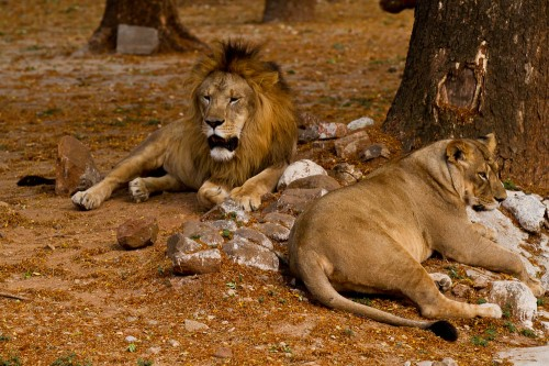Asiatic Lions at Mysore Zoo