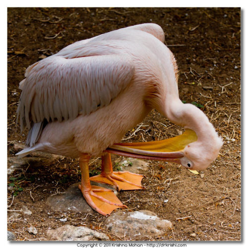 Great White Pelican Preening