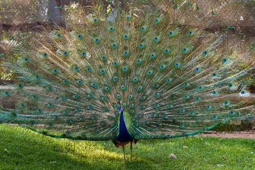 Peacock Courtship Display