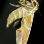 Oleander Hawk-Moth Side Profile