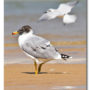 Pallas's Gull and The Gull-billed Tern