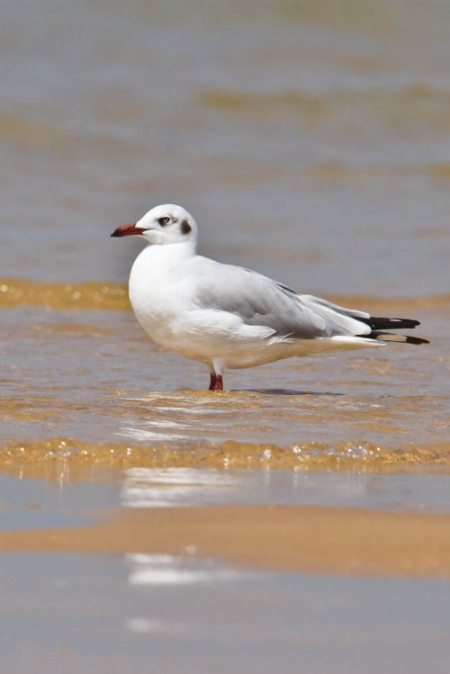 The Brown-headed Gull