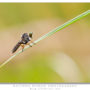 Robber Fly using 300mm f2.8 + 36mm extension tube