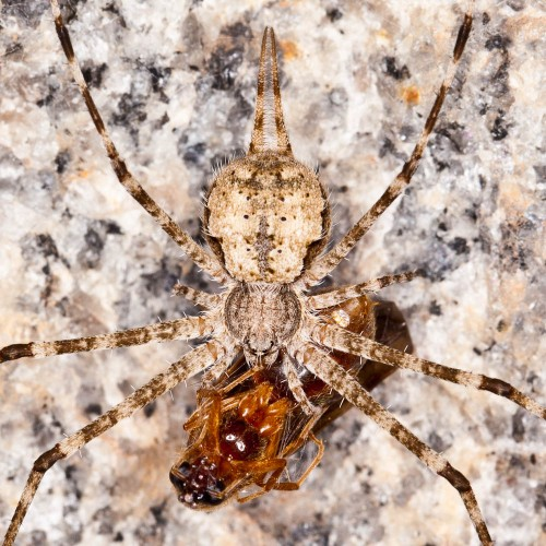 Two-Tailed Spider - Hersilia