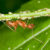 Camponotus Ant Tending Aphids