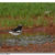 White Browed Wagtail in a puddle