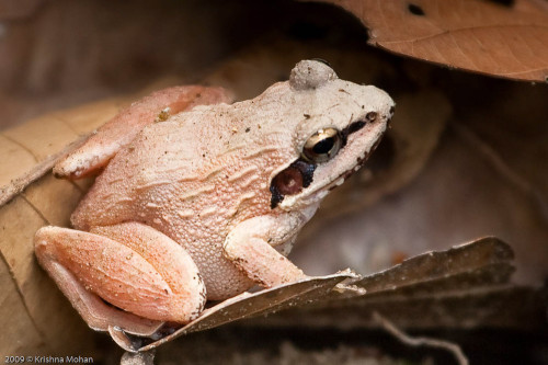 Beddome's Indian Frog