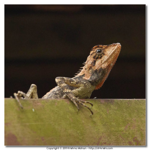 Elliot's forest lizard (Calotes ellioti)