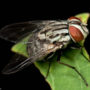 Male House fly