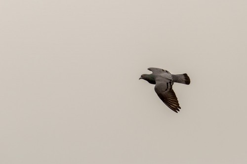 Rock Dove Bird in Flight