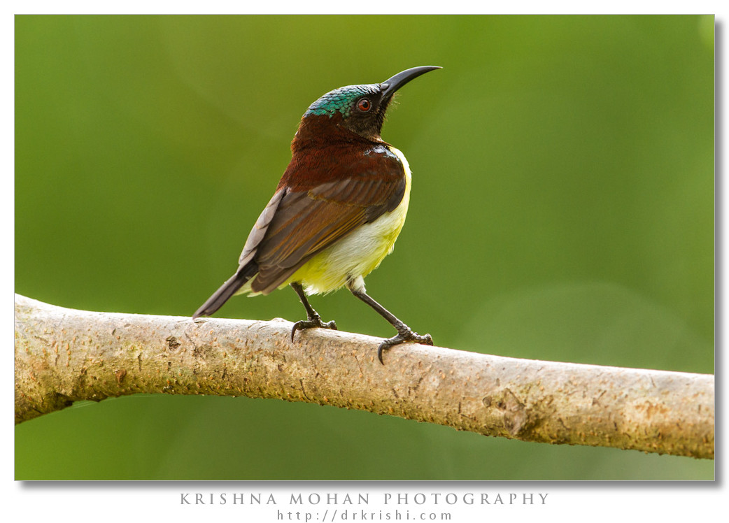 Male Purple-rumped Sunbird (Leptocoma zeylonica)