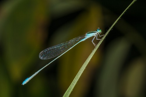 Asian Slim Damselfly (Aciagrion occidentale)