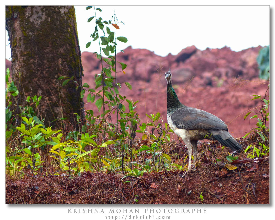 Indian Peahen