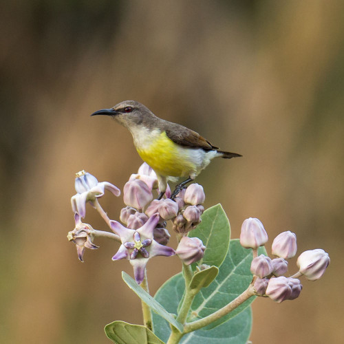 Purple-Rumped Sunbird