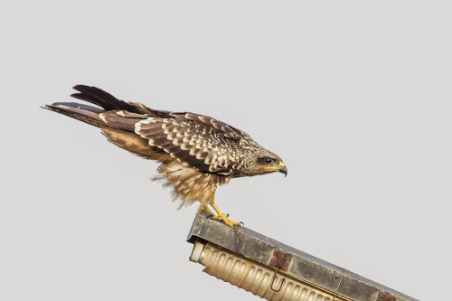 Small Indian Kite (Milvus migrans govinda)